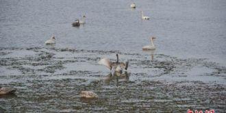 甘肃戈壁小城阿克塞 野天鹅成群翩翩起舞