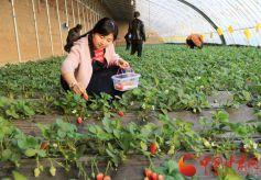 定西市安定区草莓成熟
