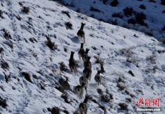 百只岩羊在祁连山雪域高原上自由觅食