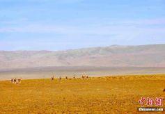 甘肃肃北草原珍稀野生动物的家园
