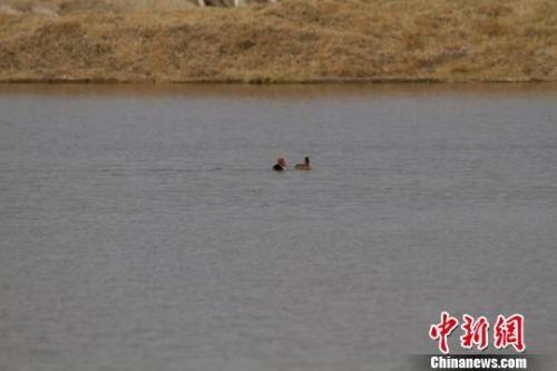 图为候鸟在湖泊里游弋。 王俊 摄