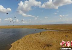 """甘肃戈壁湿地生态环境良好成候鸟""""补给站"""""""