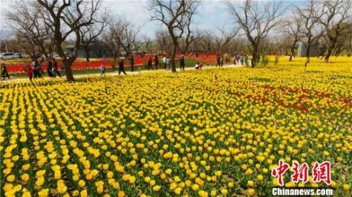 """前来刘家峡欣赏郁金香""""花海""""的游客络绎不绝。 史有东 摄"""