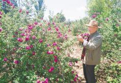 第三届甘肃兰州新区玫瑰文化旅游节6月9日开幕