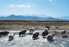 甘肃武威天祝白牦牛: 雪峰青草孕化的美生灵