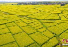 """甘肃戈壁小城万亩油菜花盛开如""""金色地毯"""""""