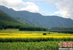 甘肃渭水河畔油菜花开 蜜蜂采蜜游人流连