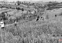 游客在甘肃省华亭县欣赏火炬树和格桑花