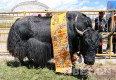 甘肃省玛曲县举办牦牛藏羊藏獒展示评比大赛