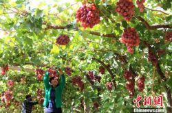 甘肃敦煌近日将举办葡萄文化旅游节