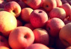 甘肃静宁:苹果产业成县域经济主导产业