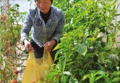 甘肃永昌妇女包永花带领乡亲发展绿色蔬菜共同致富