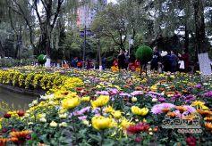 甘肃天水举行大型菊花展