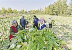 甘肃兰州市中龙公路沿线土门川村民种植的蔬菜喜获丰收
