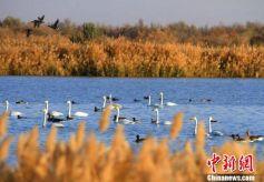 甘肃黑河湿地迎来大群候鸟