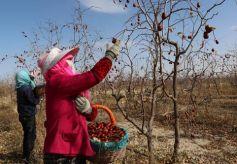 甘肃省武威泉山镇:红枣产业助增收