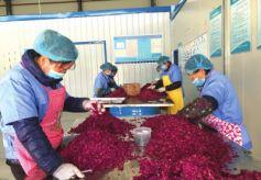 甘肃兰州永登发展特色产业增加农民收入