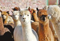 甘肃省首次从澳大利亚引进847只羊驼