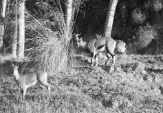 甘肃省张掖山丹发现濒危野生岩羊
