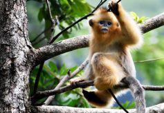 """金丝猴""""占领""""甘肃陇南裕河国家自然保护区"""