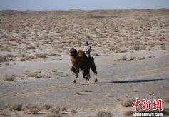 甘肃肃北寒冬时节上演激情赛驼