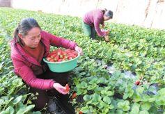 甘肃省临夏州临夏市折桥镇城市农业基地草莓熟了