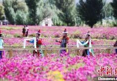 甘肃肃北打造戈壁千亩花海 融入大敦煌旅游经济圈