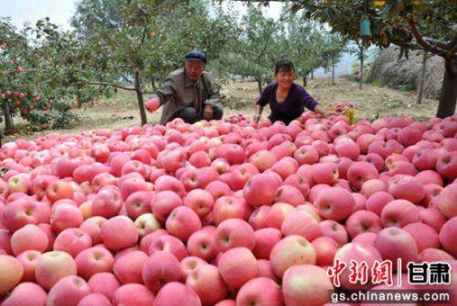 资料图:苹果丰收季,清水县果农们忙碌在果园里。钟欣摄。