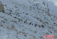 甘肃阿克塞县百只岩羊现身雪地觅食