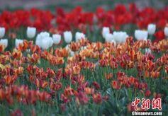 各色花朵装扮甘肃戈壁小城