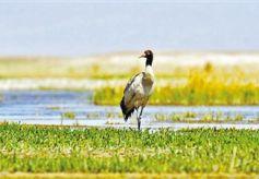 甘肃敦煌阳关渥洼池湿地芦苇渐茂候鸟纷至沓来