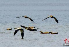 甘肃肃北戈壁天池引候鸟栖息繁殖