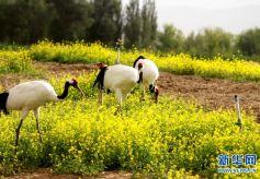 甘肃张掖:白色的丹顶鹤在金色油菜花丛中漫步