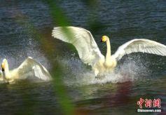 甘肃戈壁湿地天鹅炫舞吸引游客