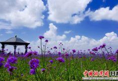 甘肃庆城北欧风情薰衣草庄园景色别具一格