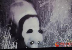 陇南碧口正水沟里寻熊猫 走访护林员艰辛巡山路