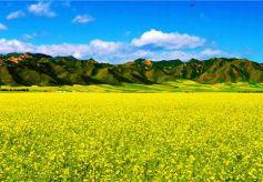 甘肃省民乐县成了远近闻名的最佳油菜花观赏地