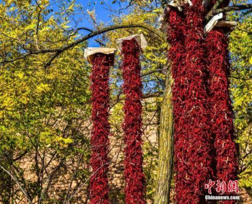 串成串的辣椒晾挂在树上。陈治平 摄