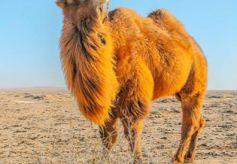 甘肃民乐:跟随阿拉善的骆驼看大漠