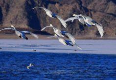 甘肃金昌金川峡水库迎来大批候鸟栖息越冬
