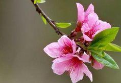 第36届兰州桃花旅游节将于4月21日在兰州市安宁区仁寿山开幕