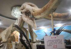 """探访兰州""""黄河象""""私人博物馆 活态传承古生物化石"""