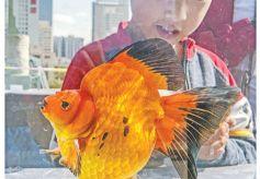 """""""金城兰州2019年金鱼科普展览""""在兰州市白塔山公园举行"""