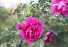 第十二届中国玫瑰之乡·兰州玫瑰节5月20日举行