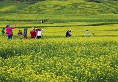 甘肃张掖民乐县十万亩油菜花竞相开放