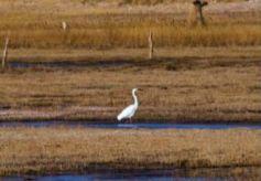 甘肃酒泉生态向好 野生动物湿地嬉戏觅食