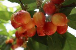 张掖市临泽鸭暖镇樱桃产业带火乡村旅游