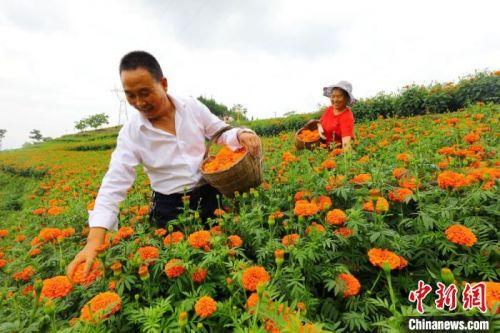 """甘肃成县花农穿梭在花海间,忙着""""淘金""""。 刘敏 摄"""