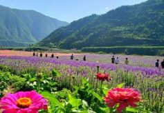 甘肃宕昌:田园变花海 百亩玫瑰成网红