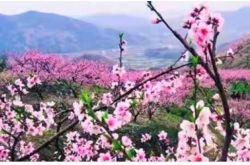 蘭州安寧春風暖 桃花盛開待客來